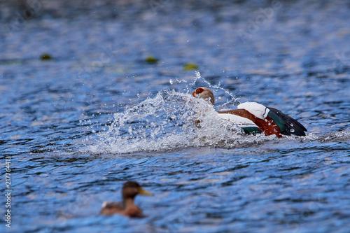 Foto Murales Nilgans bei der Landung im Wasser