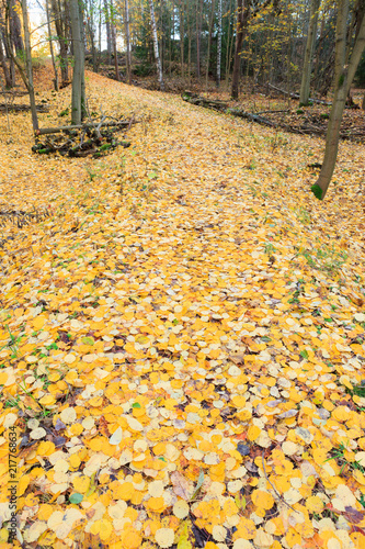 Foto Murales Fallen yellow leaves at autumn forest in Finland