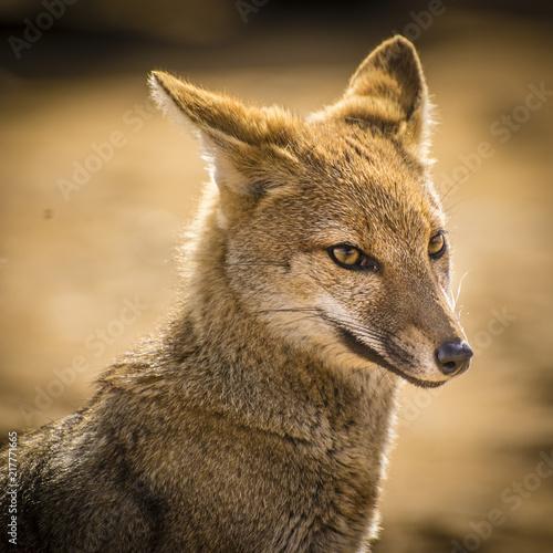 Foto Murales Brazilian fox