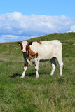 A herd of cows grazing in the mountains by the sea. Sunny day. Light clouds. Livestock in Norway.