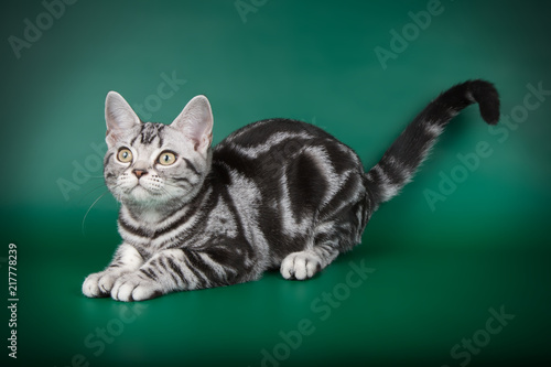 Foto Murales studio photography of an American shorthair cat on colored backgrounds