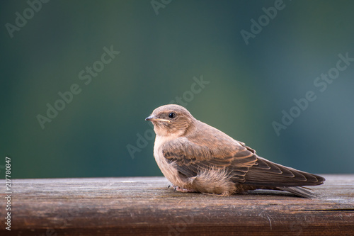Foto Murales Tiny brown bird sitting on a wooden fence: tree pipit (anthus trivialis) captured in the mountains