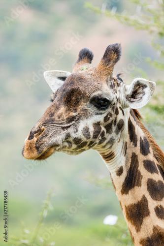 Poster Giraffe in Kenya, Africa