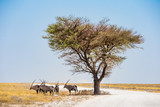 ORIX antilope Parc national Etosha en Namibie Safari