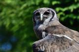 Close up portrait of a Verreaux's eagle owl (Bubo lacteus) - 217789455