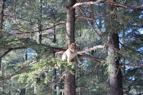 Foto Murales beautiful bebe macaque in cute position , lovly monkey