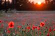 poppy fields at sunset