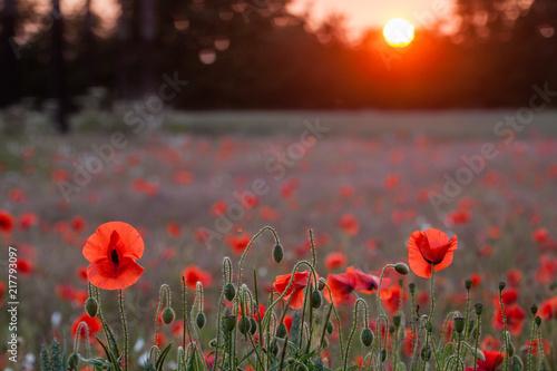 poppy fields at sunset - 217793097