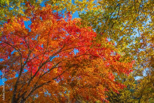Fotobehang Herfst Japan Maple leaf in Autumn Season