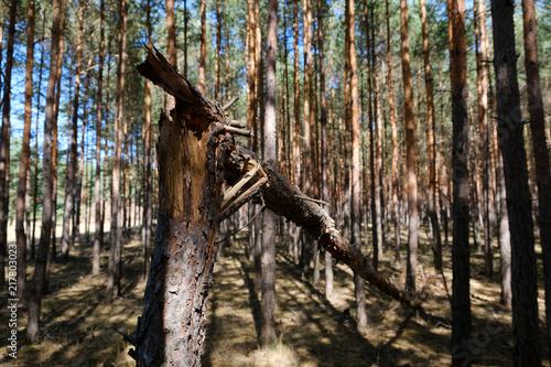 Foto Murales broken pine tree trunk in coniferous  forest