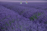 Photographer in lavender