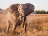 Close-up of elephant drinking water from a marsh