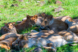 Lions pride resting im shade in nature