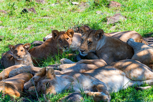Canvas Lion Lions pride resting im shade in nature