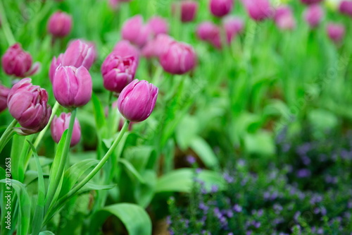 Fotobehang Tulpen Spring floral of Tulip flowers in meadow.