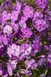 Water drops on purple flowers.