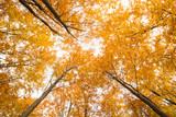Beautiful, autumn , beech forest,shot from below.Pomerania ,Poland