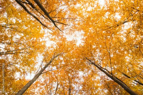 Fotobehang Herfst Beautiful, autumn , beech forest,shot from below.Pomerania ,Poland
