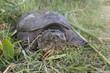 Quadro Common snapping turtle, Chelydra serpentina,