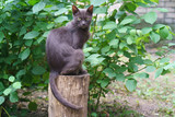 The cat sttting like sphinx at the tree stump