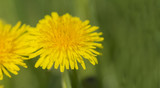Dandelion in closeup