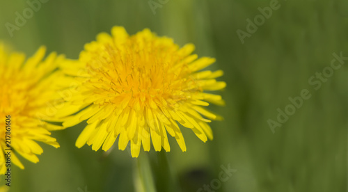 Dandelion in closeup - 217861606