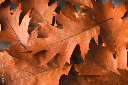 Fall oak leaves background closeup - 217864845