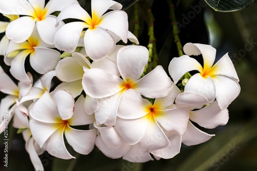Canvas Plumeria White Plumeria flowers.