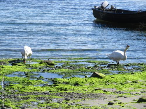Foto Murales Pair of swans in bay
