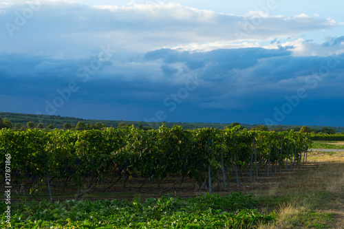 In de dag Wijngaard vineyards in the evening in Rhinehessen