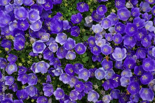 blue bells flower texture - 217873036