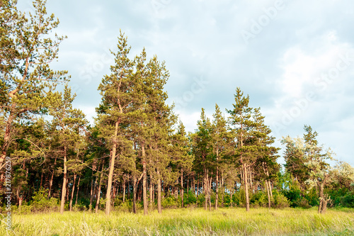 Canvas Zomer Landscape of a pine forest, tall beautiful trees