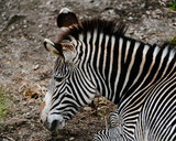 Grevy's zebra Equus grevyi aslo know as the imperial zebra portrait