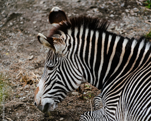 Grevy's zebra Equus grevyi aslo know as the imperial zebra portrait - 217877488
