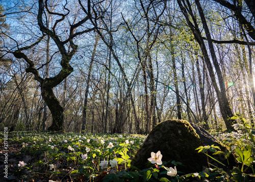 Foto Murales Wood anemone field