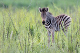 A young zebra photographed in South Africa
