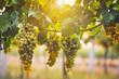 Leinwanddruck Bild - Bunch of yellow grapes in the vineyard at sunset
