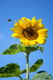 Beautiful sunflower blossom against blue sky - with one honeybee flying towards it and the other collecting pollen