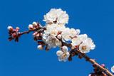 Abricotier en fleurs au Valais (Suisse) - 217901299