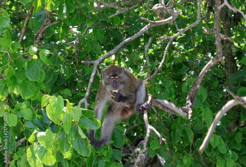 Foto Spatwand Aap A monkey on a tree eats a tropical fruit Kumquat.
