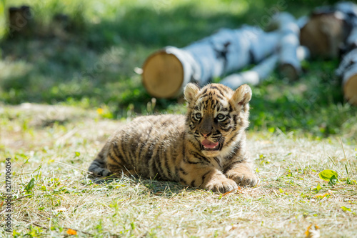 Canvas Tijger Little cub tiger in the wild on the grass cute and funny