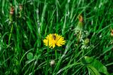 bee on yellow dandelion close up