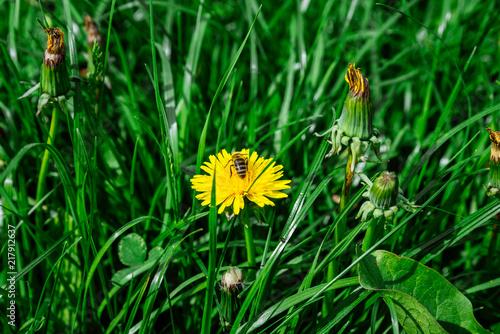 Foto Murales bee on yellow dandelion close up