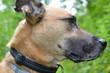 Portret psa w typie doga, profil, patrzy w prawo