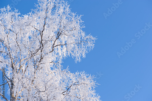 Winter branches with copyspace. Frost covered birch tree (Betula pendula) branches against blue sky. - 217923261