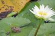 Frosch und Seerose