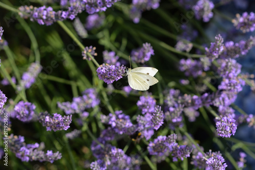 Canvas Vlinder papillon . pI2RIDE DU CHOU