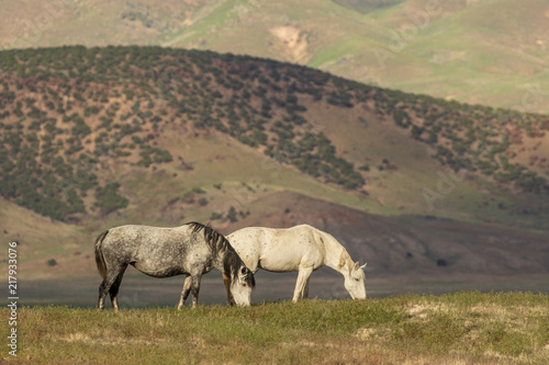Majestic Wild Horses in Utah in Summer