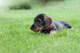 Teckel Welpe im Gras
