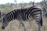 Zebra nel parco iSimangaliso